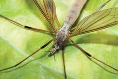 муха крана Стоковое Изображение