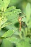 муха крана Стоковое Фото