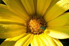 муха маргаритки Стоковые Фото