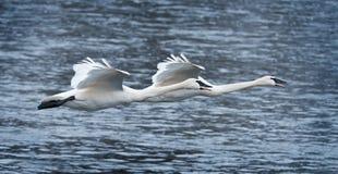 муха над трубачом лебедей реки пар Стоковая Фотография