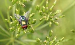 Муха насекомого на зеленых лист зеленый lucilia цезарь мухы плоти стоковое фото rf