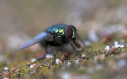 Муха насекомого Стоковая Фотография RF