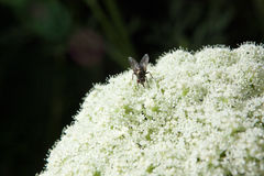 Муха на белых цветках Стоковые Фото