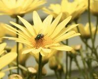 Муха на желтой маргаритке стоковые фото