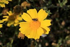 Муха на желтом цветке маргаритки стоковое фото rf