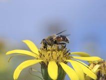 Муха на желтом цветке Стоковая Фотография
