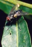 Муха на зеленых листьях Стоковое фото RF