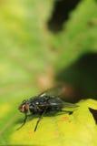 Муха на зеленых лист Стоковые Фотографии RF