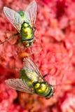 Муха на красном цвете Стоковая Фотография