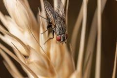 Муха на макросе пшеницы Стоковая Фотография RF