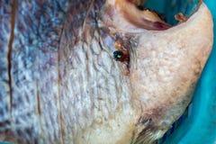 Муха на посоленных рыбах Закрытый вверх Стоковые Фотографии RF
