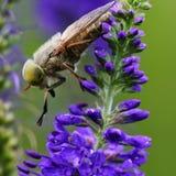 Муха на полевом цветке стоковое фото rf