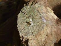 Муха на дубе Стоковые Фото