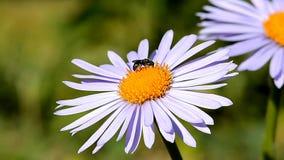 Муха на цветке видеоматериал