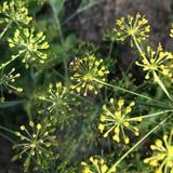 Муха на цветя укропе стоковая фотография rf