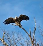 муха облыселого орла ювенильная подготавливает к Стоковые Изображения