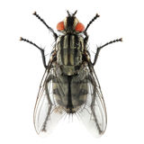 Муха дома (domestica мухи (sozvezdie)). Стоковые Изображения RF