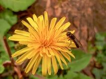 Муха отдыхая на желтом цветке одуванчика Стоковые Фото