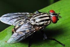 муха плоти Стоковые Изображения RF