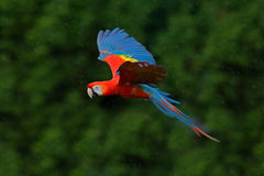 Муха попугая ары в темной ой-зелен вегетации Ара шарлаха, Ara Макао, в тропическом лесе, Коста-Рика, сцена живой природы от na тр Стоковое Фото