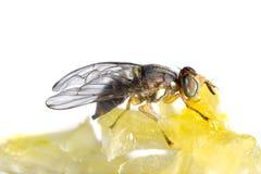Муха подавая от меда Стоковые Изображения RF
