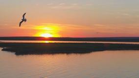 Муха птицы чайок над рекой на времени захода солнца Птицы летают на заход солнца Заход солнца на реке, воздушном Стоковые Фотографии RF