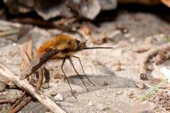 муха пчелы Стоковые Изображения RF