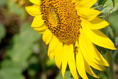 Муха пчелы на солнцецвете Стоковое Изображение RF