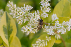 Муха пчелы сидя на малых белых цветках близко вверх Стоковые Фото