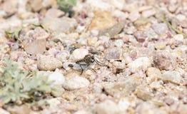 Муха разбойника на скалистой земле Стоковое Изображение RF