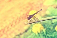Муха дракона в природе Стоковое фото RF