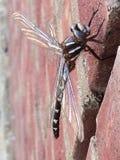 Муха дракона отдыхая на кирпичной стене Стоковая Фотография RF