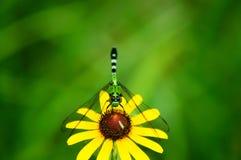Муха дракона отдыхая нежно на наблюданном чернотой цветке Сьюзана стоковые изображения