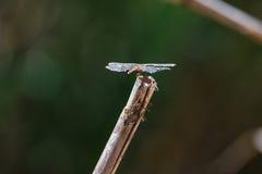 Муха дракона садить на насест на тростнике Стоковые Фото