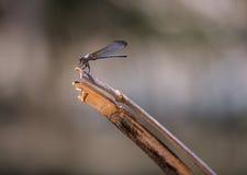 Муха дракона садить на насест на тростнике Стоковые Изображения