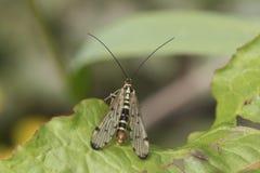 Муха скорпиона на лист стоковое изображение rf