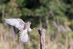 Муха сокола к пню природы Стоковая Фотография RF