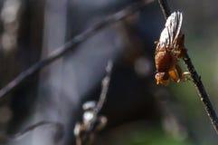 Муха трюфеля в Провансали, Франции Стоковая Фотография RF