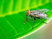 Муха дуновения, муха мяса, bluebottle Стоковое фото RF