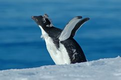 муха учит пингвина к Стоковое фото RF