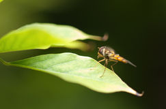 муха цветка Стоковые Фотографии RF