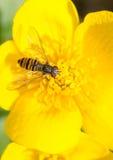 Муха цветка Стоковая Фотография