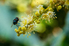 Муха цветка Стоковая Фотография RF