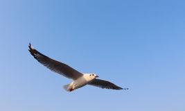 Муха чайки в небе Стоковая Фотография RF