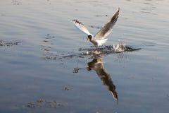 Муха чайки над водой стоковые фотографии rf