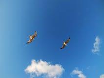 Муха чайки с предпосылкой голубого неба Стоковые Фотографии RF