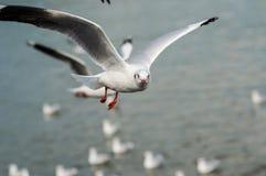 Муха чайки Стоковая Фотография RF