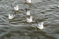 Муха чайки Стоковые Фотографии RF