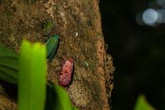 Муха черепашки Fulgorid на дереве Pyrops candelaria, Planthopper Clouse вверх Стоковая Фотография