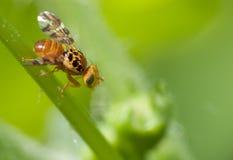 муха 2 пестротканая Стоковые Изображения RF